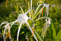 Spider Lily Stock Image - 60156311