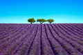 Lavender And Trees Uphill. Provence, France Stock Photos - 60176873