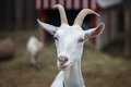 Goat Stock Images - 60179964