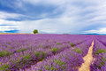 Typical Landscape Of Lavender Fields Provence, France Stock Photos - 60182603