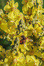 Great Mullein And Bee Stock Images - 60185554