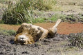 Lion Lying On Back In Mud Royalty Free Stock Photos - 6028998