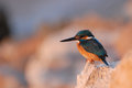 Early Morning Emerald Kingfisher On Red Sea Coast Stone, Egypt. Stock Photo - 60214740