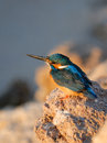 Early Morning Emerald Kingfisher On Red Sea Coast Stone. Egypt. Royalty Free Stock Images - 60215839