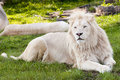 White Lion Stock Image - 60233481