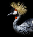 Crowned Crane Royalty Free Stock Photography - 60247537