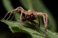 Wolf Spider Eats Red Ant On Green Leaf Royalty Free Stock Photo - 60254825