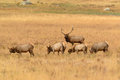 Bull Elk Protecting Cows During Fall Mating Season In Golden Meadow Royalty Free Stock Image - 60273986