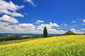 Panoramic View Of Mustard Field And Blue Sky With Clouds In Biei Town, Hokkaido Stock Images - 60275844