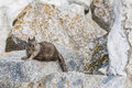 California Ground Squirrel &x28;Otospermophilus Beecheyi&x29; At Seal Ro Royalty Free Stock Images - 60276749