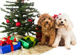 Cute Poodle Puppies In Santa Hat With Chrismas Tree And Gifts. Royalty Free Stock Photos - 60279458