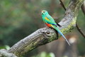 Mulga Parrot Royalty Free Stock Images - 60283319