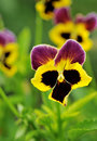 Pansy Flower Royalty Free Stock Image - 6033756