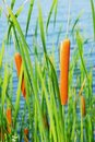 Cattail Stock Photos - 6034463