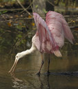 Roseate Spoonbill Royalty Free Stock Photography - 6041677