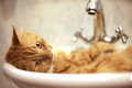 Red Cat Taking A Bath Royalty Free Stock Photos - 60425648