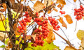 Branch Of Chinese Magnolia Vine Berries Royalty Free Stock Photography - 60453357