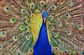 Peacock Stock Images - 60484004