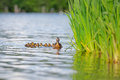 Mother Duck With Ducklings On Water By Reeds Royalty Free Stock Images - 60494059