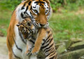 Siberian Tiger With Cub Royalty Free Stock Images - 6054519