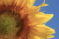 Sunflower Close Up Royalty Free Stock Photography - 6055857