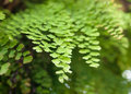 Maiden Hair Fern-Adiantum Sp-Close Up Scene Royalty Free Stock Images - 60505439