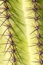 Saguaro Cactus Spines Stock Photos - 60548493