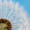 Dandelion Seeds Macro View. Blue Background. Macro View. Royalty Free Stock Images - 60588059