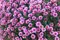 Field Autumn Pink Flowers. Chrysanthemum. Marguerite. Royalty Free Stock Photos - 60595558