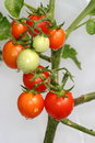 Cherry Tomatoes On The Vine Royalty Free Stock Image - 6068876