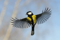 Front View Of Flying Great Tit Against Autumn Sky Background Royalty Free Stock Image - 60606706