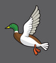 Flying Mallard Royalty Free Stock Images - 60622129