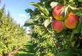 Apple Orchard Royalty Free Stock Photo - 60645305