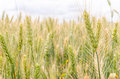 Green Wheat Ear. Green And Yellow Background Stock Photos - 60673143