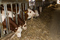 Breeding Cows Stock Photos - 60677963