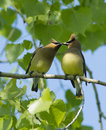 Cedar Waxwing Royalty Free Stock Images - 60688859