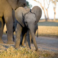 Elephant Calf Royalty Free Stock Images - 6073849
