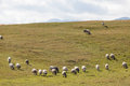 Flock Of Sheep On Green Grass Royalty Free Stock Photography - 60730257