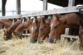 Purebred Horses With Their Heads Down Eating Hay Royalty Free Stock Image - 60778556