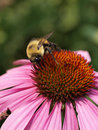 Bee On Echinacea Royalty Free Stock Photos - 6085518