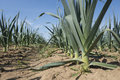 Leek On A Field Stock Photography - 60804132