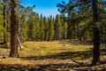 Pine Forest Meadow Stock Photos - 60854623