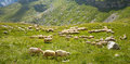 Flock Of Sheeps Stock Photo - 60866620