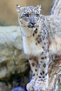 Snow Leopard Royalty Free Stock Photography - 60886097