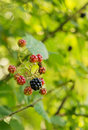 Wild Blackberries Royalty Free Stock Image - 6094926
