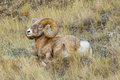 Rocky Mountain Bighorn Sheep Royalty Free Stock Photo - 60920445