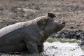 Pig In The Mud Stock Images - 60970844