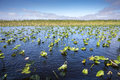 Lily Pads In The Everglades Royalty Free Stock Image - 60979576