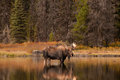 Bull Moose Stock Image - 60989671