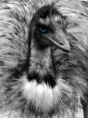 Black And White Emu Portrait With Blue Eye Stock Photography - 613442